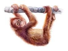 Orangutan Baby. Realistic Red ...