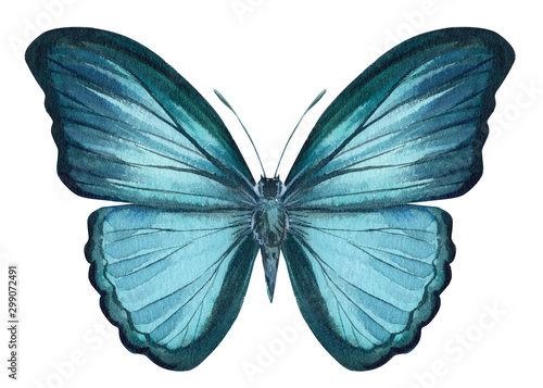 blue butterfly on an isolated white background, watercolor illustration, hand drawing, painting #299072491
