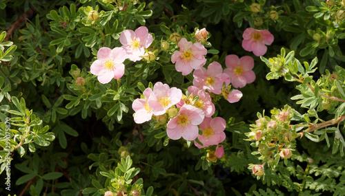 Obraz na plátně Potentilla ou Dasiphora fruticosa  |  Buisson de potentille arbustive aux fleurs