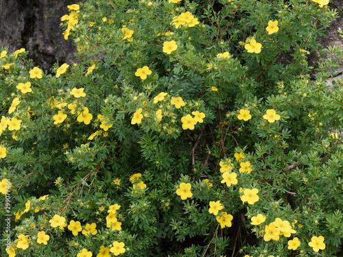 Valokuva  Potentilla ou Dasiphora fruticosa | Buisson ornemental aux fleurs jaunes or de p