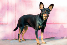 Black Dog Of Toy Terrier Breed Posing On A Pink Background