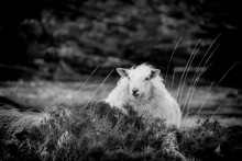 Sheep In The Heather On The Ba...