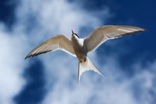 Arctic Tern Flying In A Blue Sky And Clouds