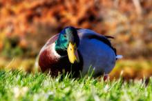 Mallard On A River Bank In Soft Sunshine