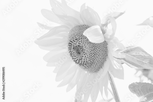 Foto op Aluminium Madeliefjes Black and white photo of sunflower plant