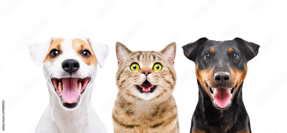 Fototapety, obrazy: Portrait of two funny  cute dogs and cat isolated on white background