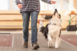 Good attentive Border Collie dog works together with his owner.