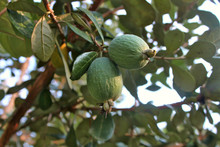 Ripe Feijoa Fruits On A Branch (lat.Acca Sellowiana)