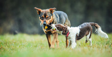 Young Border Collie Dog Playing With Ball And Adult Dogs On Animal Training Place.