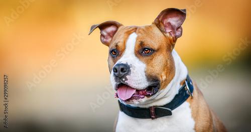 Stampa su Tela American Staffordshire Terrier