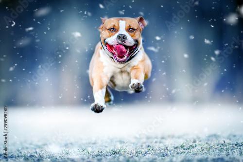 amerykanski-staford-terrier-skacze-wysoko
