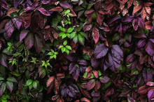 A Wall Covered With Vine Multicolored Leaves In Autumn. Natural Background From Climbing Plant. Vertical Gardening