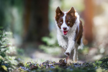 Happy Dog Border Collie Jump In Forest Path. Fast Speed Run Photo Of Dogs.