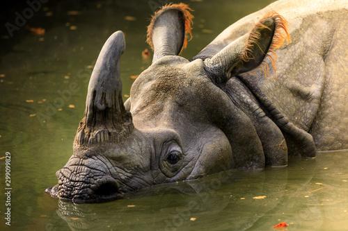 Cuadros en Lienzo Dirty rhino in the muddy water in a zoo
