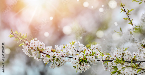 Spring Cherry blossoms. Beautiful nature scene with blooming tree. Amazing flowers orchard and Abstract blurred background. Springtime