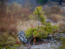 Young Pine Tree By The Road In...