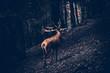 Ein Hirsch mit großen Geweih steht im Wald