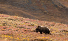 Grizzly Bear In Autumn In Denali National Park Alaska