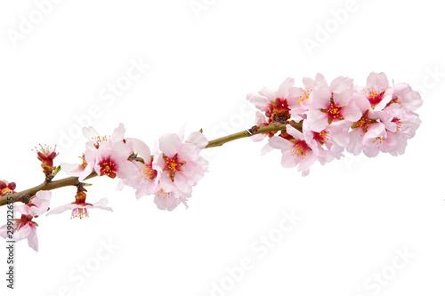 Photo  rama en flor de un almendro e un fondo blanco aislado