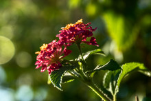 Largeleaf Lantana With Natural...