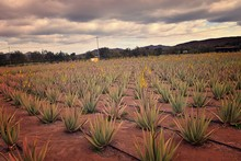 Natural Large Aloe Growing On A Farm On The Canary Island Fuetaventra In Spain In A Natural Habitat