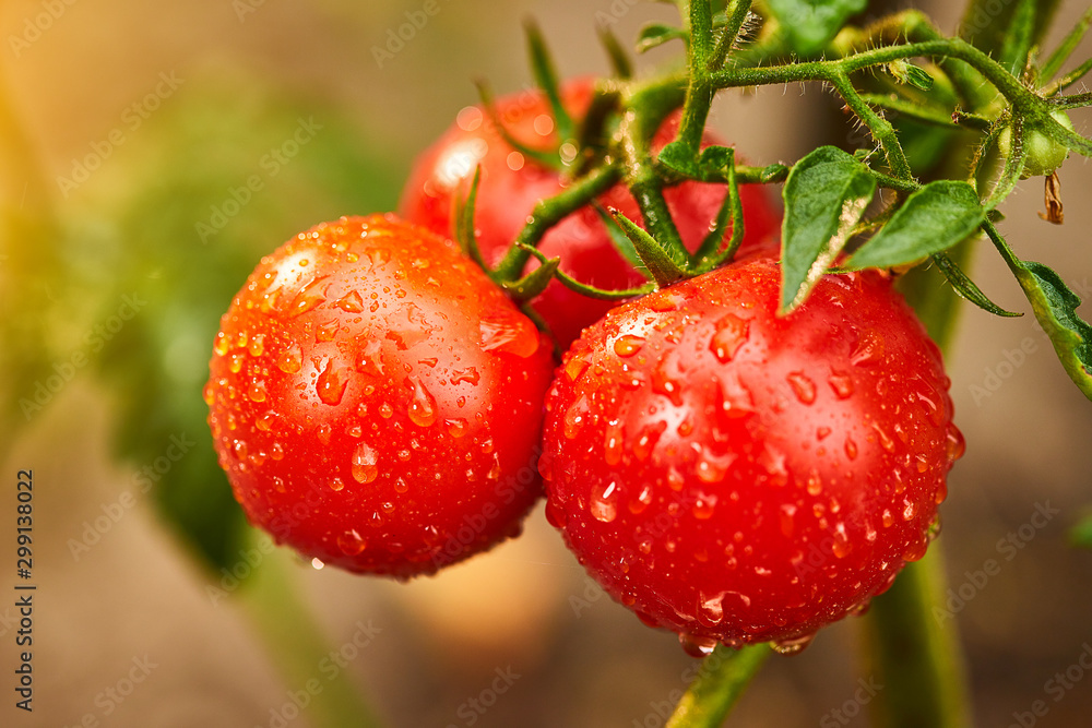 Fototapety, obrazy: Bunch of ripe natural cherry red tomatoes in water drops growing in a greenhouse  ready to pick