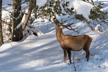 A Male Red Deer Feeds On Pine Tree In Winter