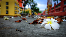 Close Up Of Plumeria Fall Down On Street In Thai Temple