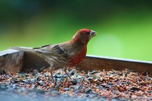Beautiful House Finch In A Feeder