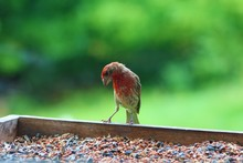 Beautiful House Finch In A Fee...