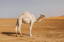 Beautiful White Camel Dromedary In The Desert.