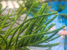 The Branch Of A Coniferous Tre...