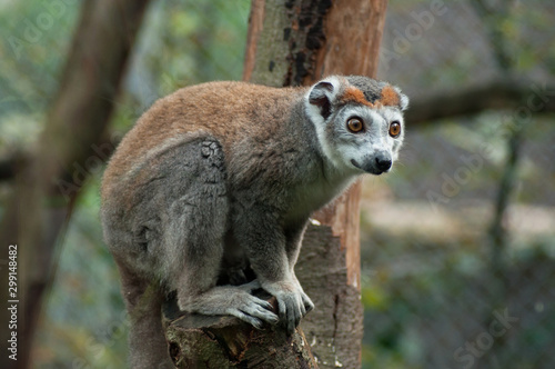 Fototapeta Portrait of maki catta memur on tree branch obraz