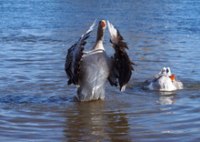 Grey Domestic Geese Bathe In River
