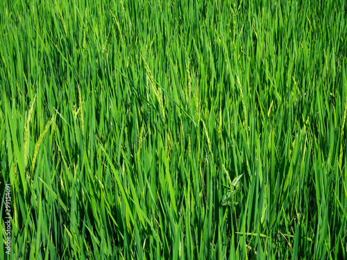 Poster Olive Green rice field in Bali