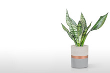 Sansevieria Plant In Pot On Wh...