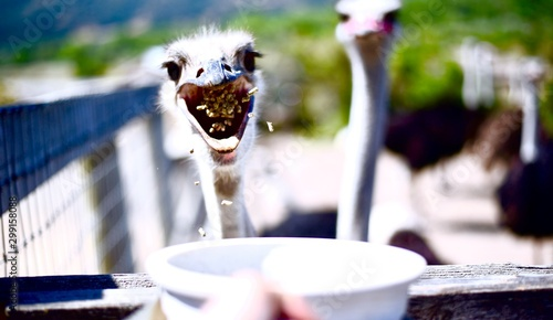 Fotografie, Tablou  Hungry Ostriches Gobbling Up Feed In California