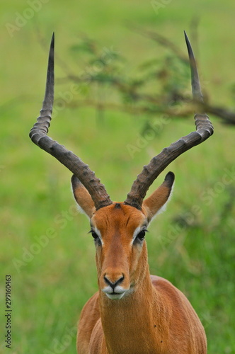Recess Fitting Antelope antilope