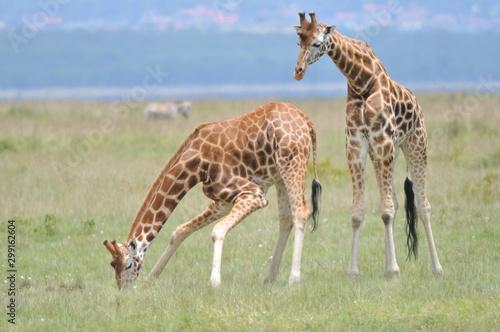 girafe couple Canvas Print