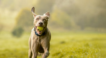 Weimaraner Dog In Grass Meadow