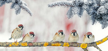 Festive New Year Card With Small Funny Birds Sparrows Sit In Winter Park On The Branch