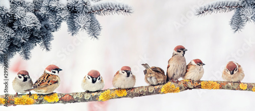 Photo  Christmas card with lots of cute little birds, the sparrows sitting in the wint