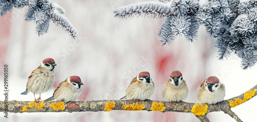 Photo  festive new year card with small funny birds sparrows sit in winter Park on the