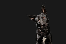 Black Working Dog Poses On Dark Grey Background