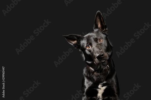 Fotografía Black working dog poses on dark grey background