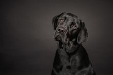 Labrador Poses On Dark Grey Background