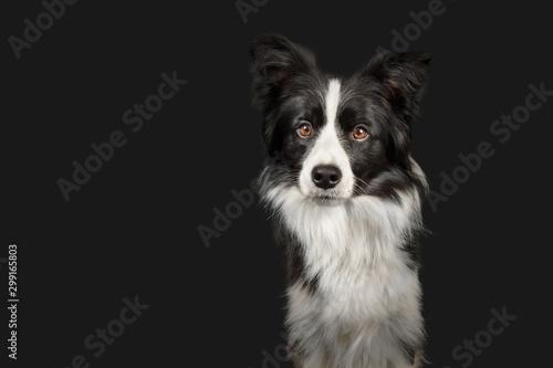 Fotografia Black and white border collie on dark grey background