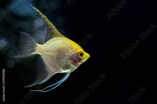 Photo Close-up of Angelfish in aquarium.