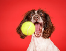 Hilarious Spaniel Dog Catches Tennis Ball On Red Background