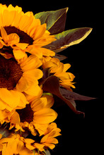 Photos Of Sunflowers Composition, Black Background